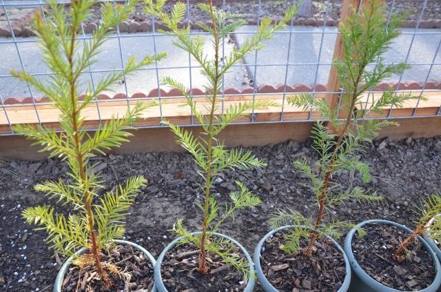 Old Growth Redwood Saplings