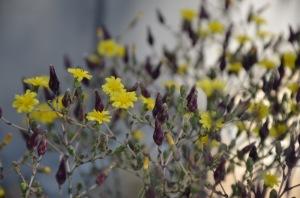 Lettuce Flowers
